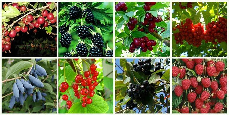 Плодово-ягодные кустарники в саду